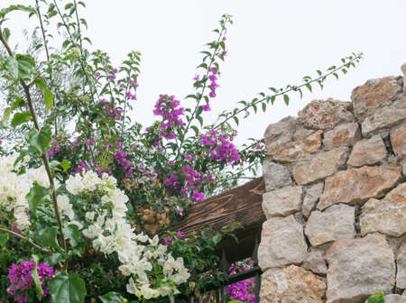 drystone: Flowers and drystone wall - white and purple bougainvillea, wood and drystone wall detail  Stock Photo