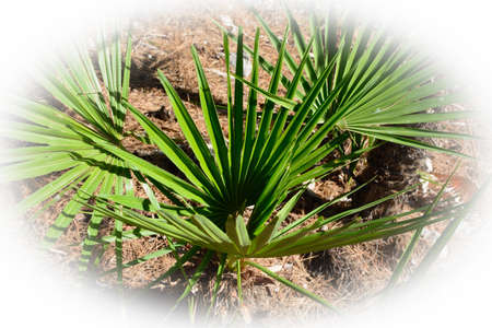 The endemic fan palm Chamaerops humilis; Majorca, Balearic islands, Spain  photo