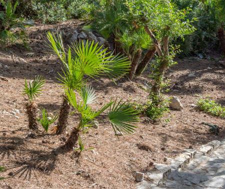 endemic: The endemic fan palm Chamaerops humilis; Majorca, Balearic islands, Spain