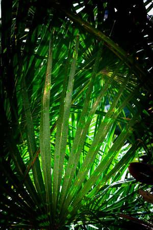The endemic fan palm Chamaerops humilis; Majorca, Balearic islands, Spain  photo