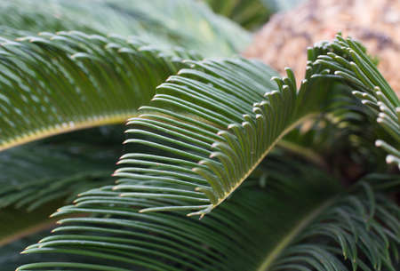 cycas: Palm Cycas revoluta closeup selective focus  Stock Photo