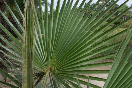 Leaves of fan palm or palmito, endemic to Mallorca, Balearic islands, Spain  photo