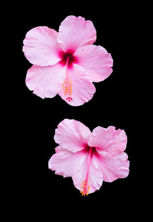 Two pink hibiscus flowers isolated on black