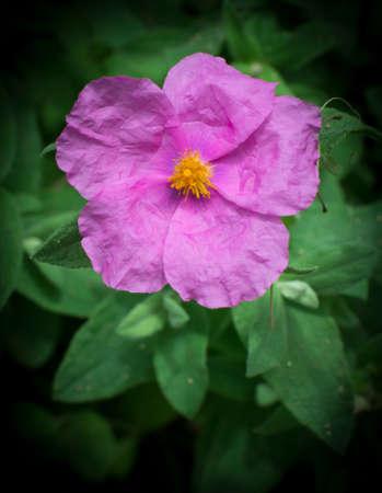 Soft hairy rockrose Cistus creticus vertical  Pink wildflower native around the Mediterranean Stock Photo - 27282783