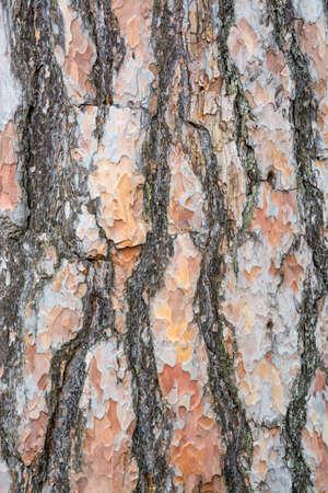 scots: Bark texture background Scots pine vertical image