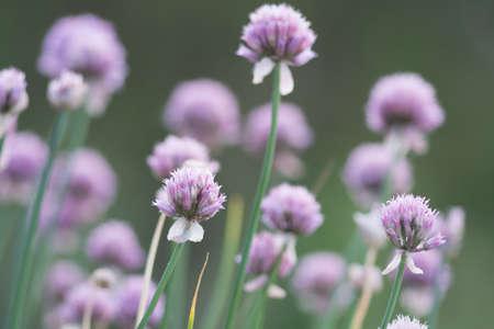 trifolium: Trifolium pratense