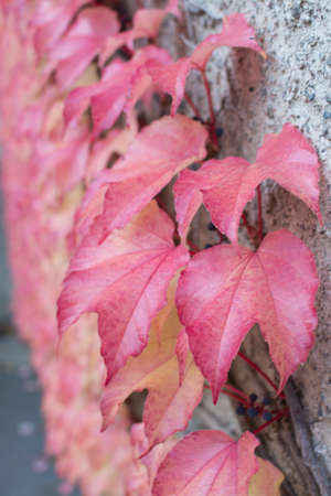 clinging: Red Ivy Parthenocissus quinquefolia. Clinging red autumn leaves, Stockholm, Sweden in October.