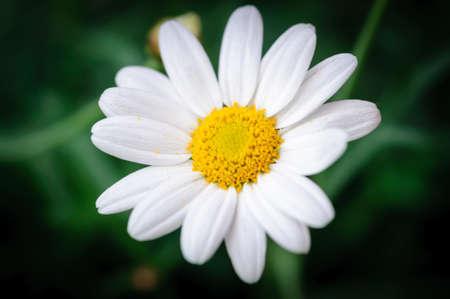 ox eye: Ox eye daisy Bellis Perennis. Daisy single flower, fading into black.