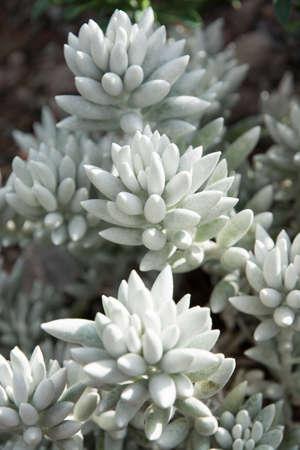 wooly: Ragwort closeup senecio haworthii. Wooly senecio, ragworts, groundsel are other common names.