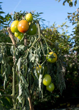 home grown: Ripening tomatoes outdoors. Home grown organic tomatoes ripening on a wiltering plant outdoors in October, Sweden.