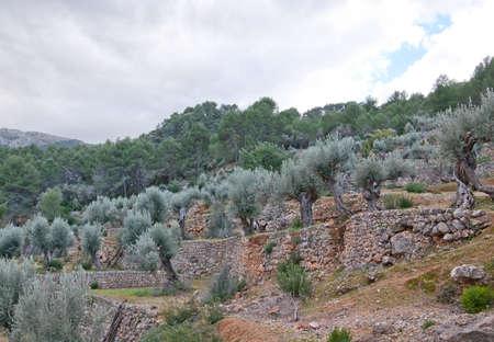 drystone: Drystone terraces with trees, Mallorca, Balearic islands, Spain