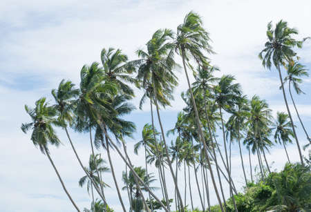 southern indian: Coconut palm trees