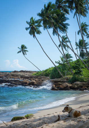 southern sri lanka: Dog resting on tropical rocky beach with coconut palm trees, sandy beach and ocean. Tangalle, Southern Province, Sri Lanka, Asia.