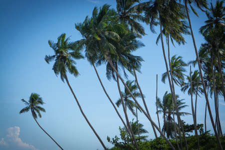 southern indian: Coconut palms. Coconut palm trees and blue sky. Southern Province, Sri Lanka, Asia. Stock Photo