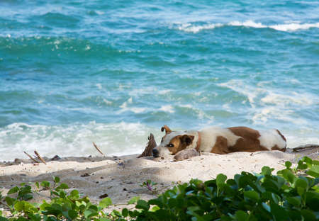 Dog resting on beach. Dog with collar in the sand with ocean behind. Southern Province, Sri Lanka, Asia. photo