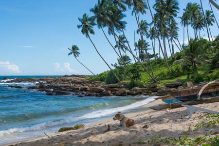 Dog resting on tropical rocky beach with coconut palm trees and fishing boats. Tangalle, Southern Province, Sri Lanka, Asia.