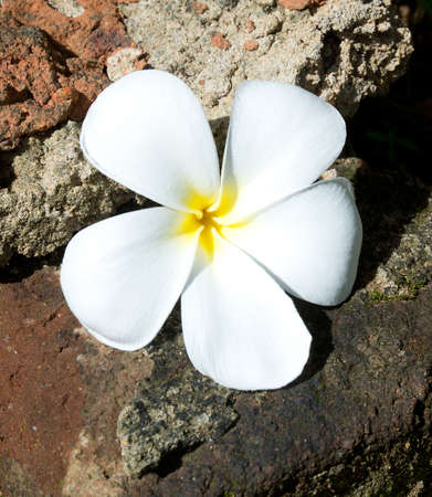 the devotion: Temple Tree Flower. The flower is seen as the symbol of the fragile human life out of which should come the fragrance of devotion that allows the soul to merge with the mysterious Essence of all life.In the spiritual symbolism of India the Plumeria flower Stock Photo