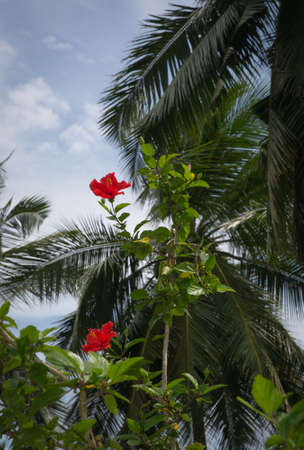 southern sri lanka: Red hibiscus flowers and palms in a tropical garden, Southern Province, Sri Lanka, Asia.