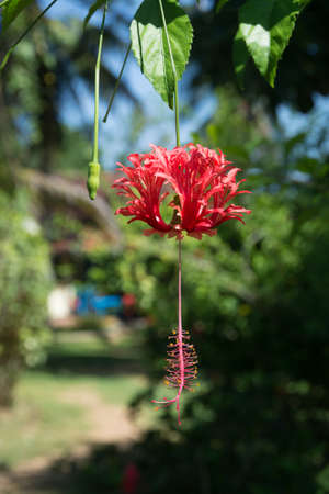 southern sri lanka: Red Hibiscus (Hibiscus sinensis) in Tangalle garden, Southern Province, Sri Lanka, Asia in December. Stock Photo