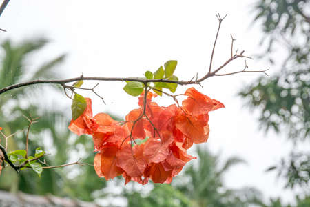 color bougainvillea: Orange color Bougainvillea with raindrops, Southern Province, Sri Lanka, Asia.