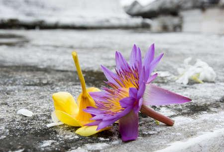 Hvězda lotus. Srí Lanka Národní květina mnoha jmény: hvězda lotosových, Nymphaea nouchali, Nymphaea stellata, modrý leknín, modrá hvězda leknín. Srí Lanka, Asia.