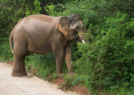 southern sri lanka: Male Sri Lankan elephant with tusks walking on dirt road and grazing in foliage in Yala National Park, Sri Lanka, Southern Province, Asia,