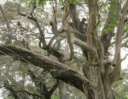 southern sri lanka: Toque Macaque Monkeys in tree in Yala National Park, Sri Lanka, Southern Province, Asia,