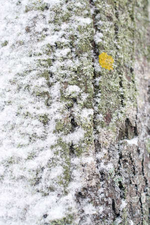 bark rain tree: Snowy tree trunk closeup with yellow lichen in Vallingby, Stockholm, Sweden in January.