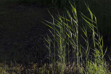 phragmites: Reed is common name for several tall, grass-like plants of wetlands. They are all members of the order Poales