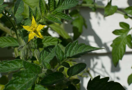 bushy plant: Yellow tomato flower and buds on a green bushy plant.