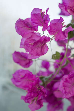 vertical image: Bougainvillea on gray vertical image. Stock Photo