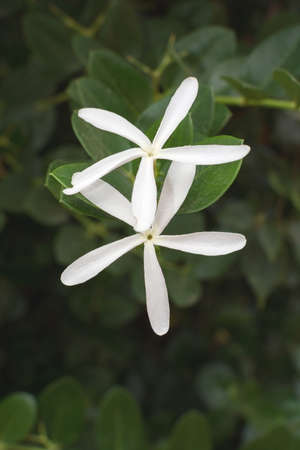 starlike: Two starlike white flowers centered on dark green lush background. Stock Photo