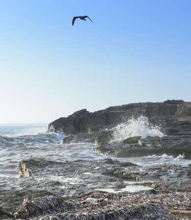 mares: Gaviota mares picados en Ses Covetes, Mallorca, Baleares, Espa�a, en octubre. Foto de archivo
