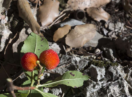 strawberry tree: Two strawberry tree fruits. The arbutus or strawberry-tree, Arbutus unedo, is a bush that can grow to up to 3 metres high. It bears red fruit which are edible when ripe. Dont eat too many since it can make you dizzy, give you a headache or even make you