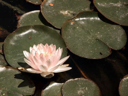 against all odds: Delicate pink waterlily blossoming among dirty green leaves concept for contrast, beauty in nature, against all odds. Stock Photo