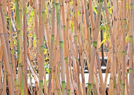 reed stem: Reeds in high grass closeup, Albufera, Mallorca, Spain.