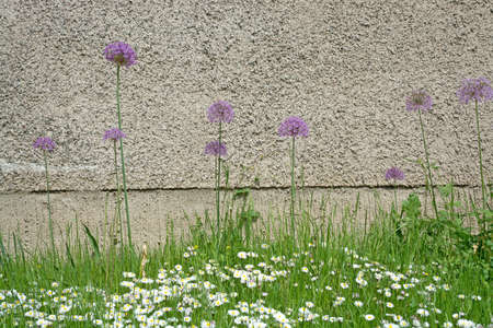 Allium flowers with purple ball like flowers against a roughcast wall, abstract composition.
