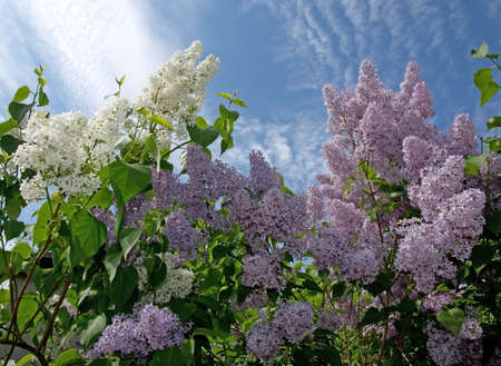 lilacs: Lilacs blossoming on a tree and blue sky, Sweden in May.