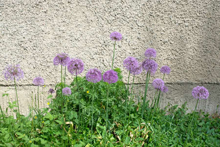 ball like: Allium flowers with purple ball like flowers against a roughcast wall, abstract composition.