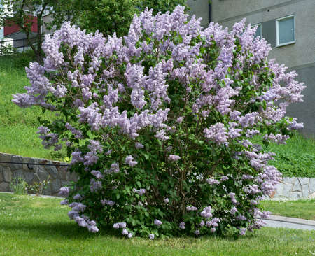 lilacs: Lilacs blossoming on a bush, Sweden in May.