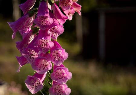 purpurea: Foxglove, common foxglove, purple foxglove or Digitalis purpurea flower macro.
