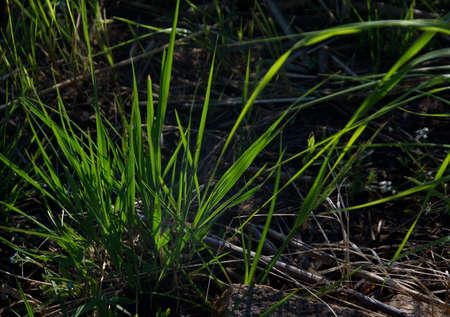 stillness: Tuft of green grass backlit by evening sun, Midsummer, Sweden. Stock Photo