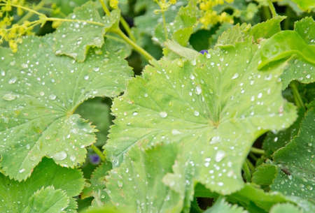 Ladys mantle leaves with dew drops. Green garden in July, Sweden.