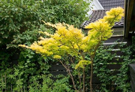 acer palmatum: Acer Palmatum