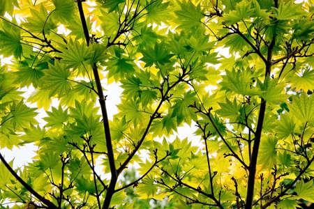 acer: Acer Palmatum
