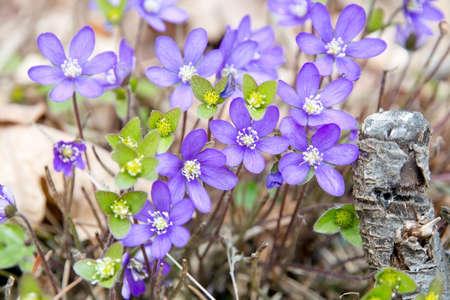 hepatica: Blue wildflower Hepatica Nobilis in a forest meadow. Stock Photo