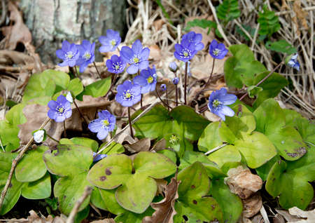 nobilis: Blue wildflower Hepatica Nobilis in a forest meadow. Stock Photo