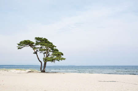Single beautiful tree on sandy beach in Ã…hus, Sweden.