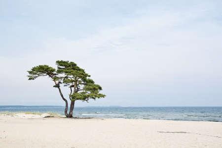 Single beautiful tree on sandy beach in Ã…hus, Sweden.