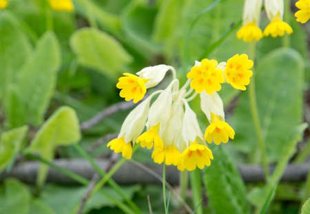 primula veris: Yellow primula veris or key flower, key of heaven, fairy cups, in May, Sweden.